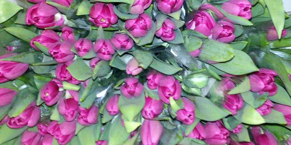 Опт тюльпанов